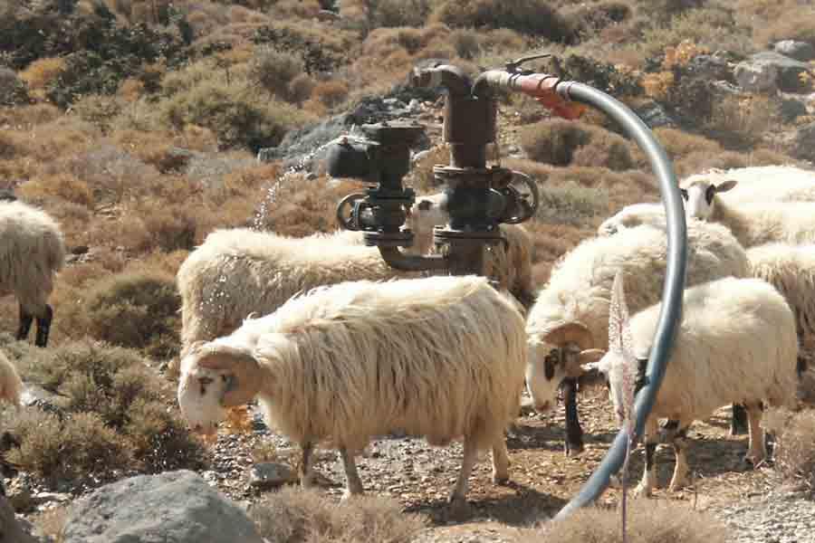 Lamm am Wasser trinken