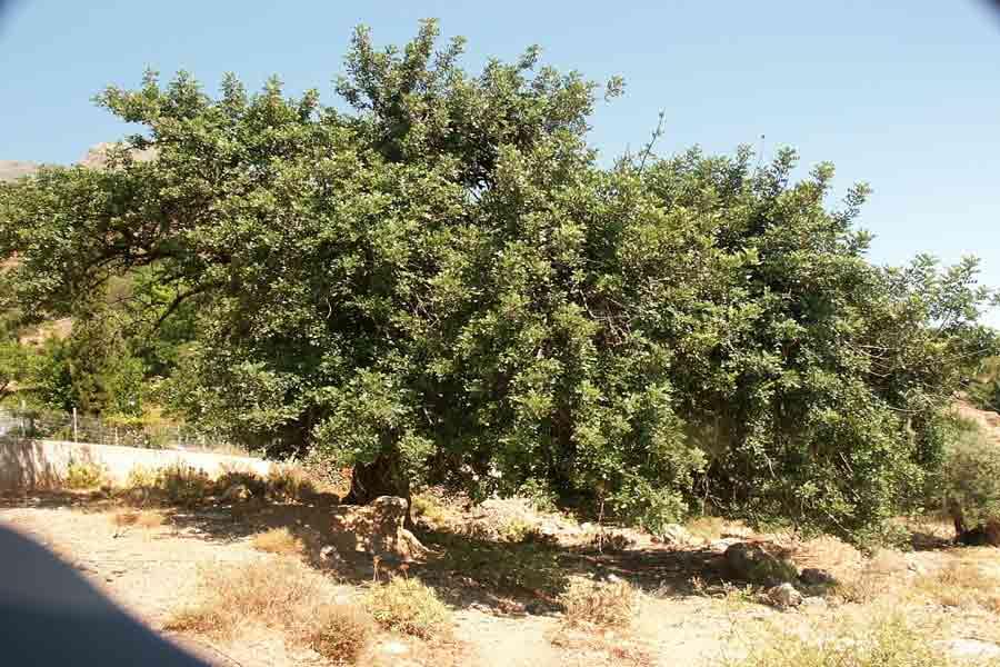 Olivenbaum auf Kreta, magenfreundlich und heilsam