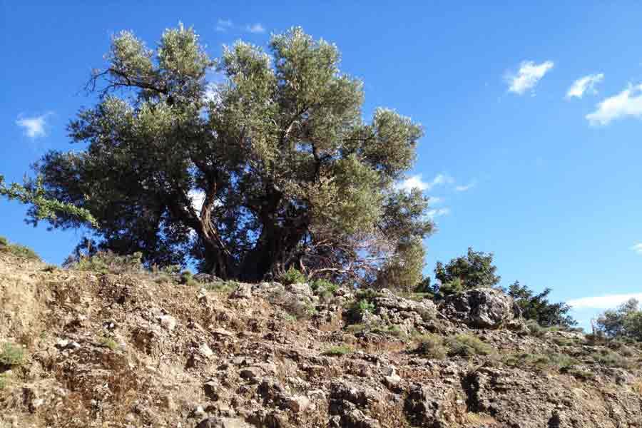 alter Olivenbaum auf Kreta