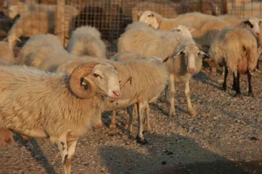 Schafe auf Kreta, soviel wie touristen