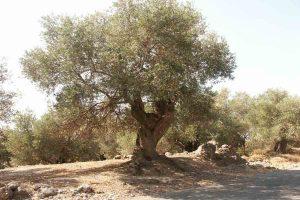 Baum in der Nähe der Imbros schlucht